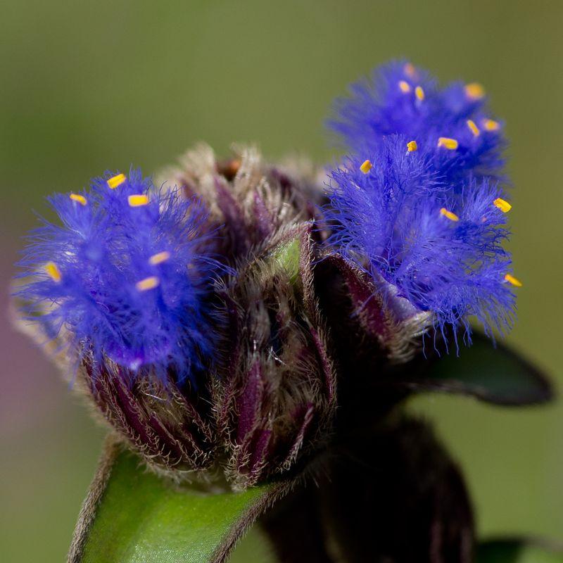 Cyanotis Fasciculata